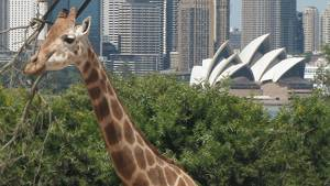 Girrafe at Taronga